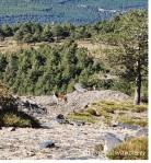 divoká koza/wild goat